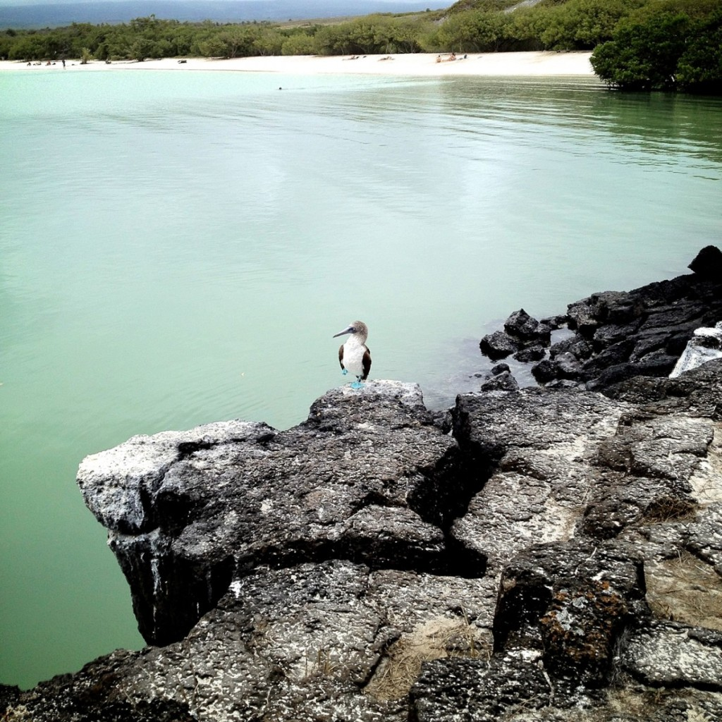 "A blue-footed boobie holds a pose. ""You have to tip him,"" I told a very earnest lady after she took his picture."